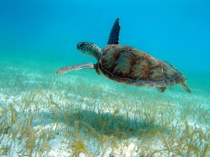 scuba diving caribbean petit st vincent turtle