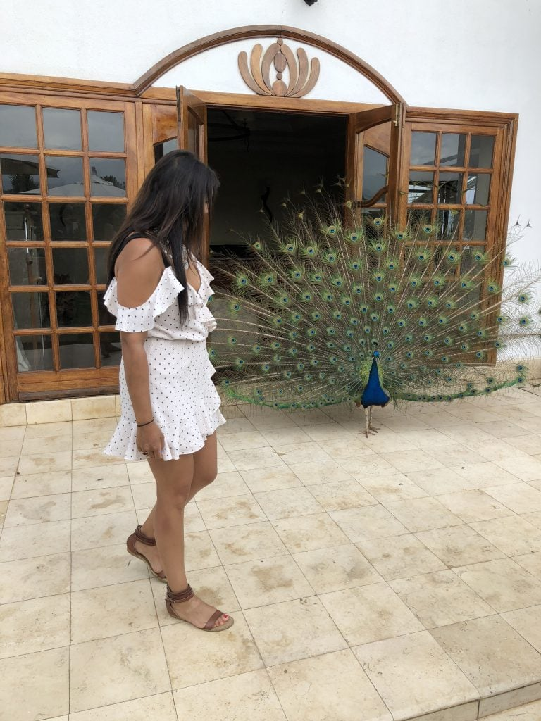 Bonnie Rakhit staying at fairmont Mount Kenya with the house bird the peacock