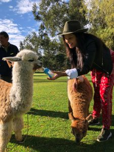 feeding baby alpaca llamas in Sacred valley peru